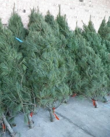 boy scout troop 20s christmas tree sale - Boy Scout Christmas Trees